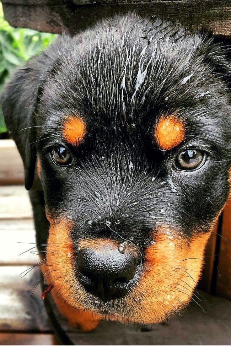 Amazing picture of this Rottweiler puppy.So natural,so brilliant