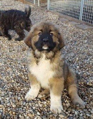 caucasian shepherd pup ontario
