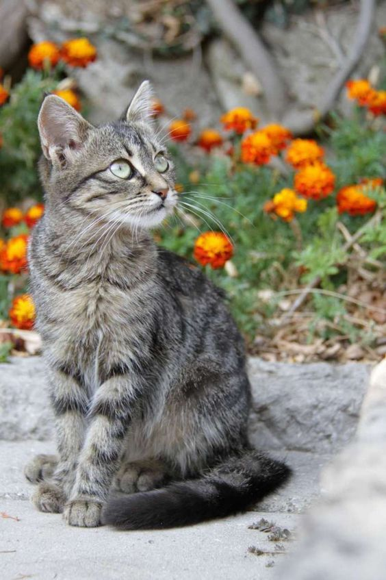 American Bobtail Cat Price