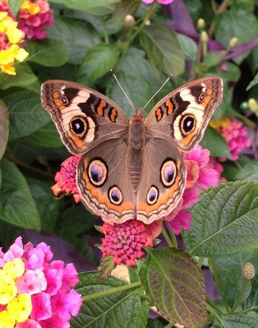 Buckeye Butterfly Beautiful Butterflys Moths