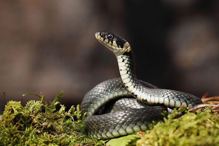 Culebra de collar - Grass Snake (Natrix Natrix)
