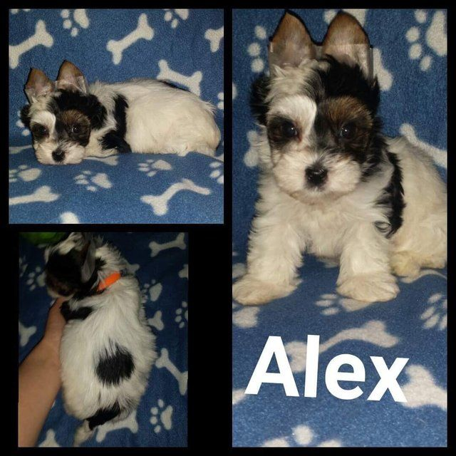 Male Biewier Yorkshire Terrier puppy for sale ( Alex) For Sale in Notingham, Nottinghamshire | Preloved