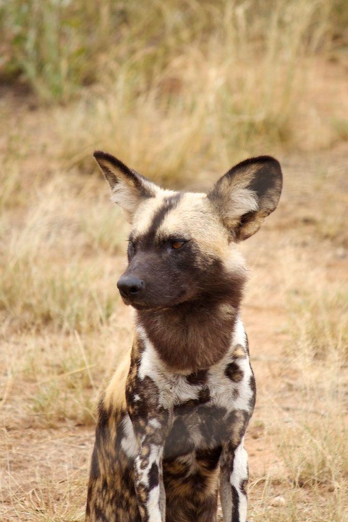 African Wild Dog by richardblake