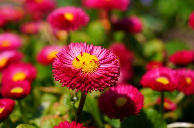 Wiosenne kwiaty - stokrotki. #kwiaty #hydrobox #hydroboxpl #flowers #stokrotki #flowerpot #spring #wiosna #summer #inspiration #ideas #ogrod #blossom
