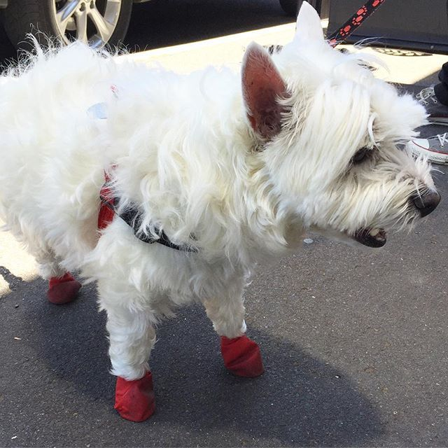 Toto has stolen Dorothy's shoes! Too cute in #Ivanhoe #ivanhoevillage #westie #cutedogs #dogsofinstagram #cute #santashelper #🎅🏻