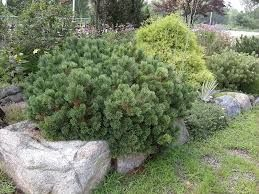 Pinus pumila aka Dwarf Siberian Pine Prostrate, hardy, rock garden look, high altitudes, 9 ft at maturity.  Will produce edible nuts at age 5-7 years.  Grows on exposed sites with granular soil, good drainage, med. water.  Needs innoculant.