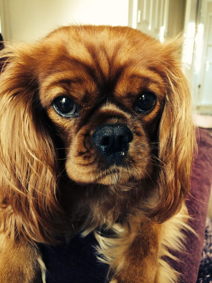 This looks so much like our Dooley,who is half King Charles Spaniel and half Pekingese.