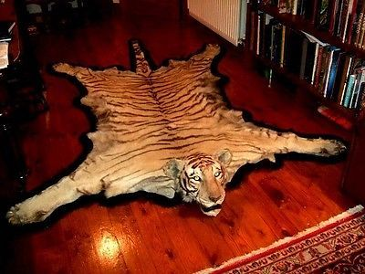 Nice Antique Tiger Skin Rug By Van Ingen Mysore Circa 1937 38 Taxidermy Stuffed  | EBay