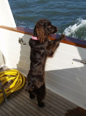 Boykin Spaniel: The HGTV dream home 2015 perfect island dog to enjoy the dog house and seaside.