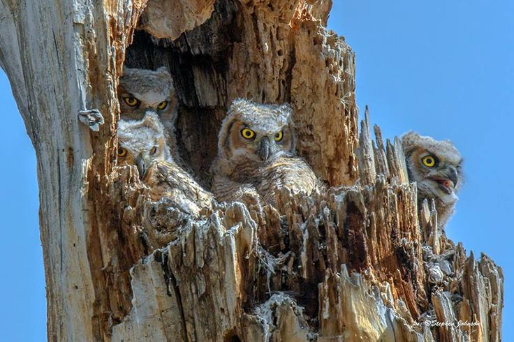 Four Great Horned Owlets in a tall tree stump at Chatfield State Park in Littleton, Colorado. The Owl Pages, Facebook  https://fbcdn-sphotos-d-a.akamaihd.net/hphotos-ak-xpt1/v/t1.0-9/11150677_10205596386044391_6347423567222560269_n.jpg?oh=b5100c755ad4ce59f793043cf897fbd0&oe=56C567E8&__gda__=1455292897_47a77097dd1dac7450e0dcf88a64b307