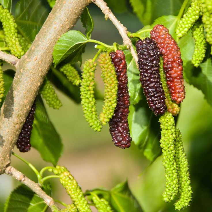 Black Beauty Fruiting Mulberry Tree (Bush Form) (Semi-dwarf)