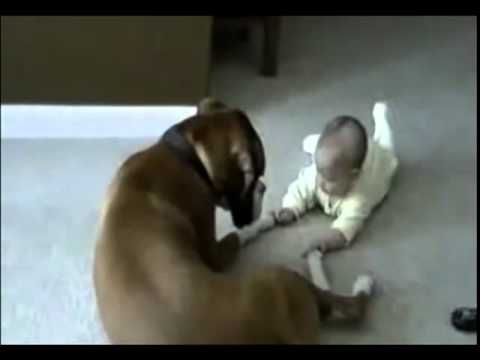 Dog hold baby's hand ( Boxer and baby make friends )