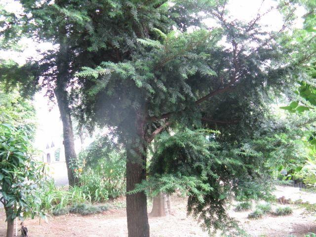 11月30日の誕生日の木は「ツガ(栂)」です。 マツ科ツガ属の常緑針葉樹です。関東地方以南の本州、四国、九州の太平洋側の暖帯から温帯にかけて広く分布し、南は屋久島に達します。モミとともに比較的低いところで、モミ・ツガ林を形成したり、ブナ、ミズナラなどの落葉広葉樹や、ヒノキ・カヤなどの針葉樹、またカシ類などの常葉樹とも混合林を形成します。 樹高は20m~25m。直径は50cm~80cm。まれに樹高40m、直径1.5mに達するものがあります。傘状円錐形または吊り鐘状の樹冠を形成します。樹皮は赤褐色または灰褐色で、不規則に深く裂けて落ちます。葉は長さ7mm~25mmの線形。濃緑色で光沢があります。 雌雄同株で、開花期は4月~5月。雄花は枝の先端に1個つき、長さ数ミリで、黄色。雌花序は楕円形で下向きにつき緑紫色となります。 秋に長さ2cmほどの卵形の球果となり褐色に熟し、その年の10月頃に種子は成熟します。