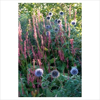Oh, one of my favourite plants - Echinops ritro with Persicaria amplexicaulis 'September Spires' - Nursery In Goede Aarde