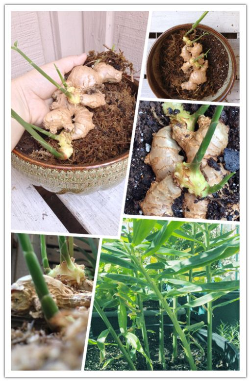 How To Grow Ginger At Home | DIY Tag