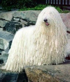 Hungarian Komondor looks like a sheep, barks like a dog. Bit of a surprise to any unsuspecting wolf