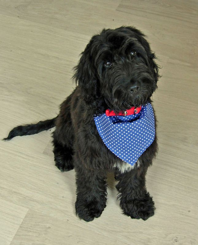 Photo Gallery Of Adult Cockapoo Dogs Submitted By Members -6823