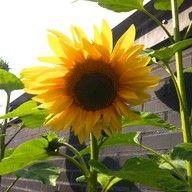 Zonnebloemen kunnen in de volle grond of een grote pot gekweekt worden. De leukste zijn natuurlijk de giganten, met hun stengel van enkele meters lang en grote blokhoofden.