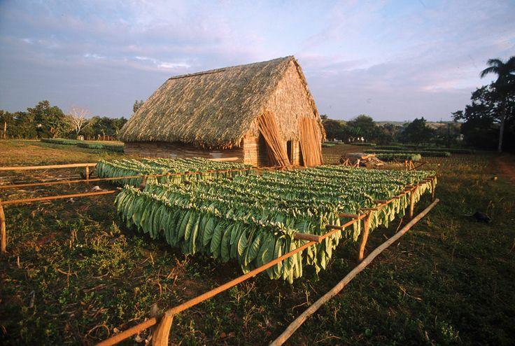 Essicazione delle foglie di tabacco