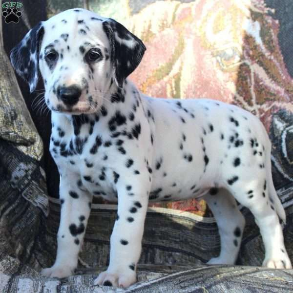 Wilbur Dalmatian Puppy For Sale In Pennsylvania Dalmatian Puppies For Sale Dalmatian Puppy Puppies
