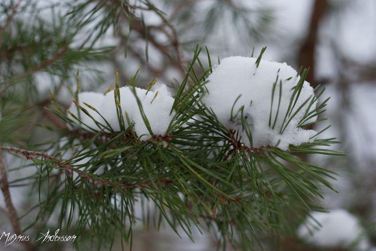 Gran med snö