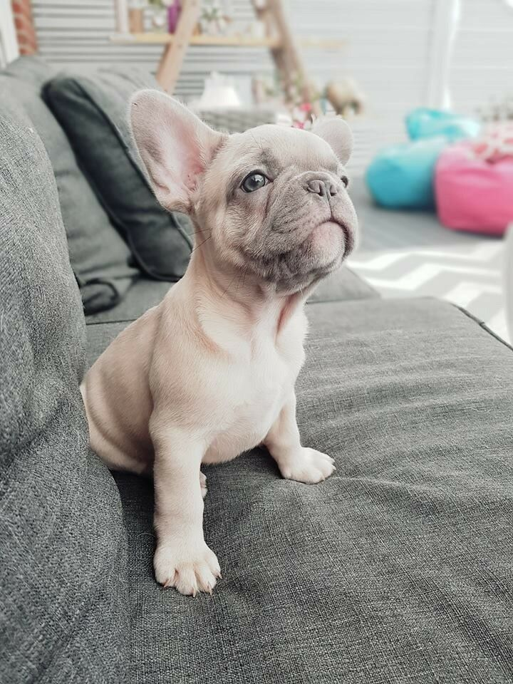 What Is The Rarest French Bulldog Color French Bulldog