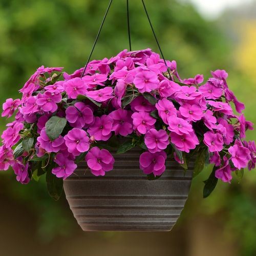 ngb 2015 new flowers impatiens bounce violet is a strong performing impatiens for sun