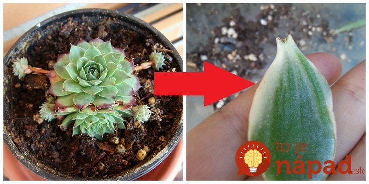 Tušíte čo dokáže jediný list z tejto rastliny? Na tento zázrak zo skalky nemá ani Aloe Vera!