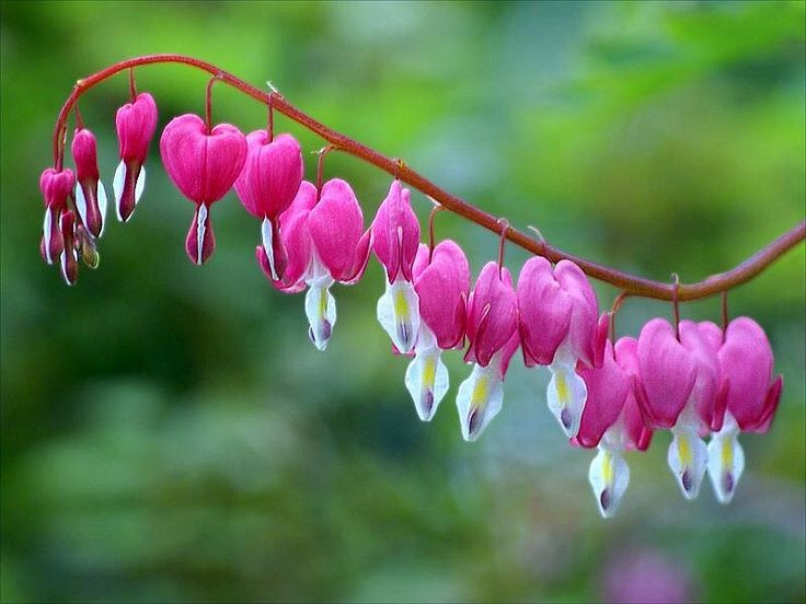 """O nome em inglês é """"Bleeding Heart"""" (coração sangrando), numa referência óbvia ao formato de coração com uma gota na parte inferior. Para honrar sua beleza, prefiro Coração Partido. Essas flores são encontradas em variedades de cores que incluem o vermelho, o rosa e o branco. Adapta-se muito bem a jardins sombreados."""