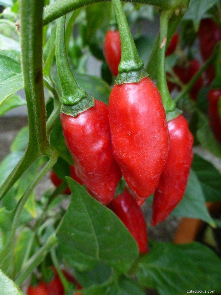Fórum: Paprika čínská - Capsicum chinense; 810x1080px; 151kB; 21.09.2016,