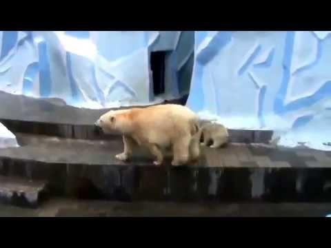 Видео.   Белые медведи .  Мама с медвежонком . Новосибирский зоопарк .