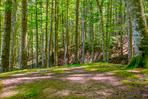 A pine forest in sunny summer day