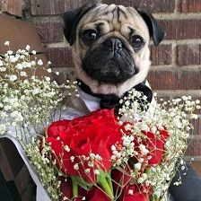 What You Really Need To Search For Pug Breeders - http://weloveourpugs.net/what-you-really-need-to-search-for-pug-breeders/