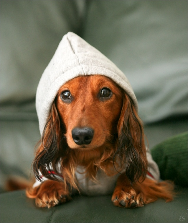 Dog picture, GnomeAwwww Hoodie, Camps Weekend, Jennifer Lopez, Doxie Gnomes, Darning Elves, Dog Names, Dog Pictures, Dogs Pictures, Dig Dogs