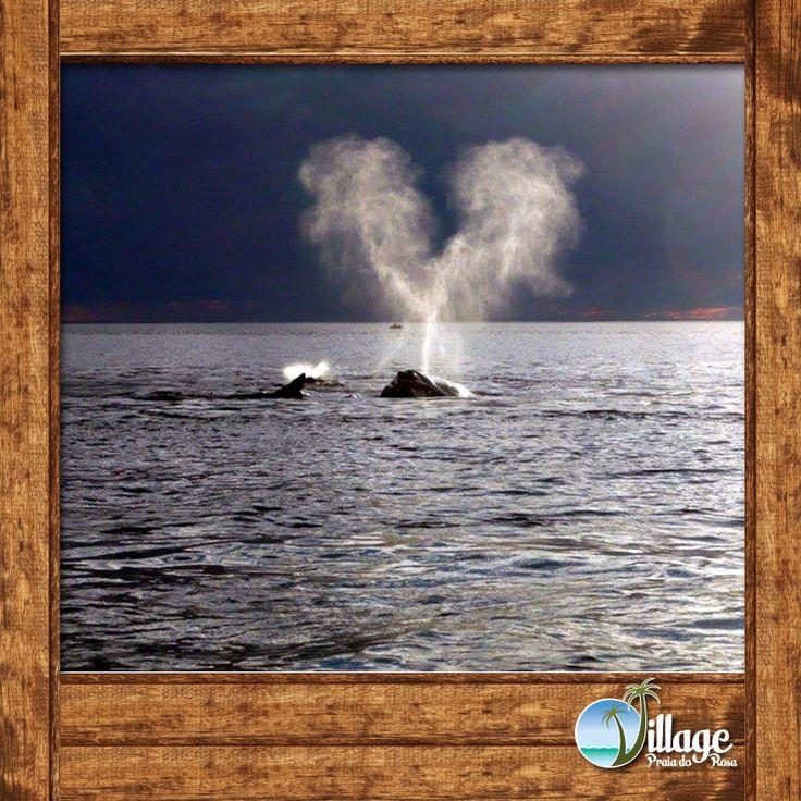 """Ela é a única espécie de baleia que tem o borrifo em forma de V. O """"esguicho"""" das baleias francas é bastante característico. A maioria das pessoas  chamam o borrifo de esguicho, mas não é água, e sim ar quente expelido pelos pulmões. A altura do esguicho pode chegar a atingir de 5 a 8 metros, sendo mais visível em dias frios e com pouco vento, e o som causado pela rápida expelida de ar pode ser ouvido muitas vezes a centenas de metros."""