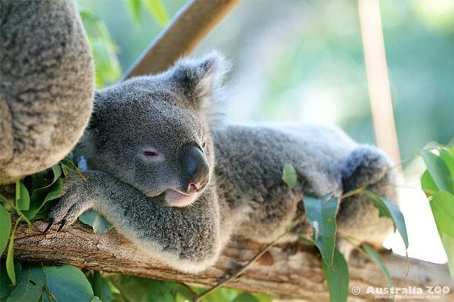 Sleeping Koala at Australia Zoo #koala #wildlife #marriott #brisbane