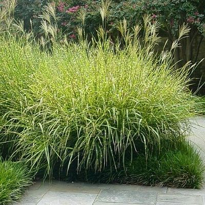 17 best images about ornamental grasses on pinterest gardens feathers and morning light. Black Bedroom Furniture Sets. Home Design Ideas