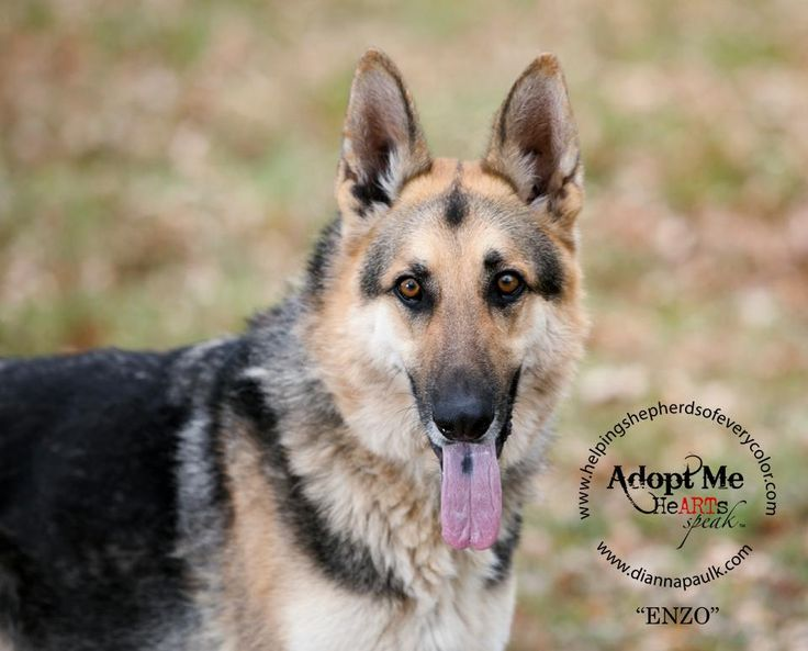 German Shepherd Dog dog for Adoption in Montgomery, AL. ADN-540638 on PuppyFinder.com Gender: Male. Age: Adult