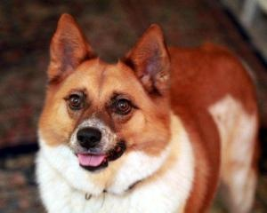 """Jack Foster is an adoptable Australian Cattle Dog Corgi Mix.  He is a 5 year old neutered male that would love to find his forever home!  If I adopted him, I would use both his names, all the time.  """"Here, Jack Foster, here!""""  :)"""