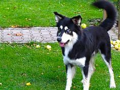 The Border Collie Husky Mix: Is This Smart, Active Dog Right For Your Family?