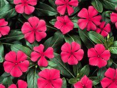 • Egynyári növények