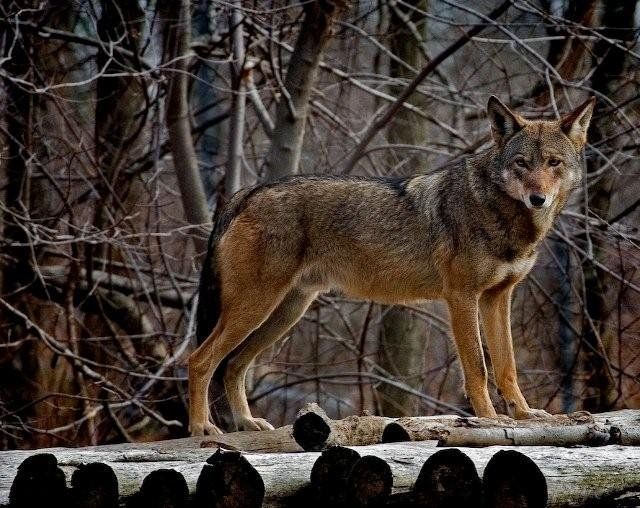 There are two species of wolves in North America. The smaller species is the red wolf, Canis rufus, which has shorter, redder fur than the gray wolf. The red wolf lives in the southeastern United States.
