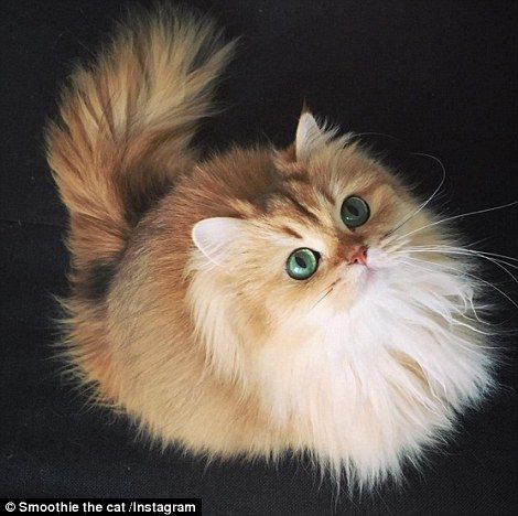 Best Cat Stuffs Images On Pinterest Crazy Cat Lady Crazy - Meatball the fat cat kept eating everyones food so his owners came up with a clever solution