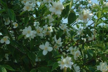 Boerenjasmijn  De Philadelphus virginal (Nederlandse naam: Boerenjasmijn) is een Philadelphus hybride (kruising van verschillende soorten) die in mei en juni bloeit met sterk geurende, roomwitte bloemen
