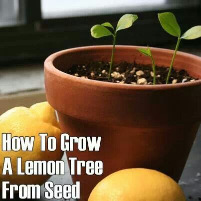 how to grow a lemon tree from seed frugal living ideas pinterest. Black Bedroom Furniture Sets. Home Design Ideas
