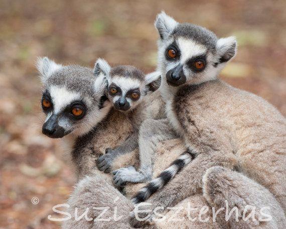 Ring tailed lemur baby sale - photo#24