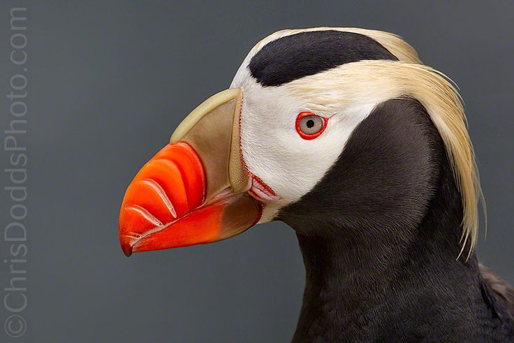 Tufted Puffin - Saint Paul Island Photo Tour - Nature Photography Blog