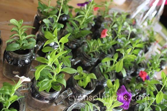 Our little calibrachoa are just about ready to be delivered!
