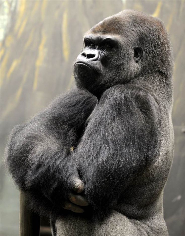 "Ya Kwanza, a silverback gorilla stands in the ""Gorilla's Camp"" enclsure at the Amneville zoo in France on April 4."