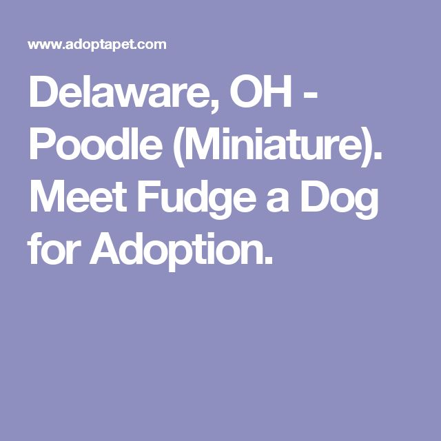 Delaware, OH - Poodle (Miniature). Meet Fudge a Dog for Adoption.